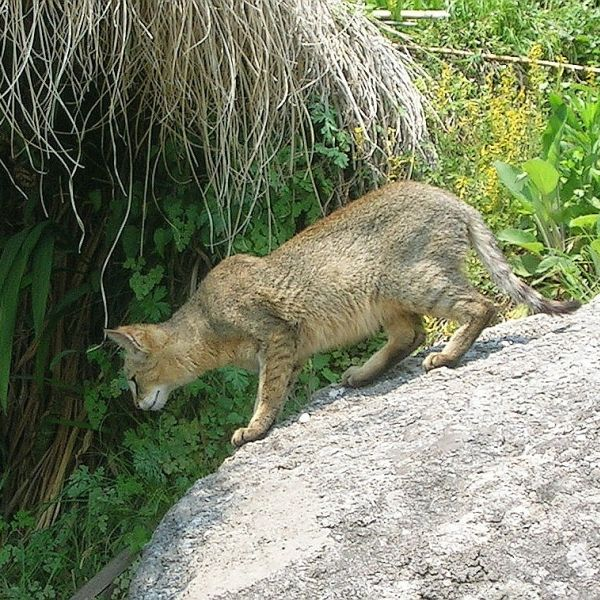 Jungle Cat photo