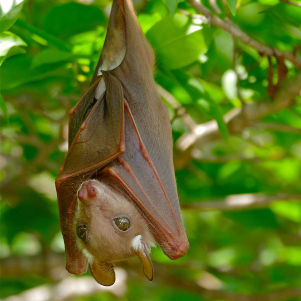 Epauletted Fruit Bat (Epomophorus sp.) juvenile ...