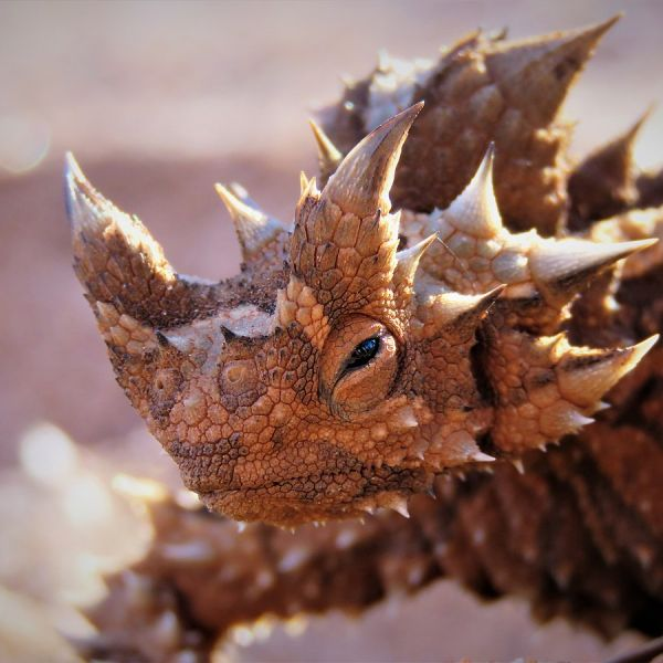 Thorny Devil photo