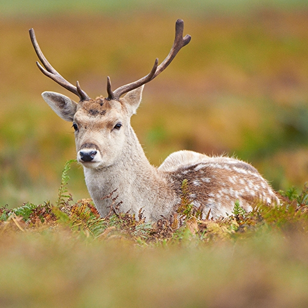 mammals of asia and fallow deer Deer are a group of even-toed ungulate mammals  asia, north america and south america  fallow deer, dama dama.