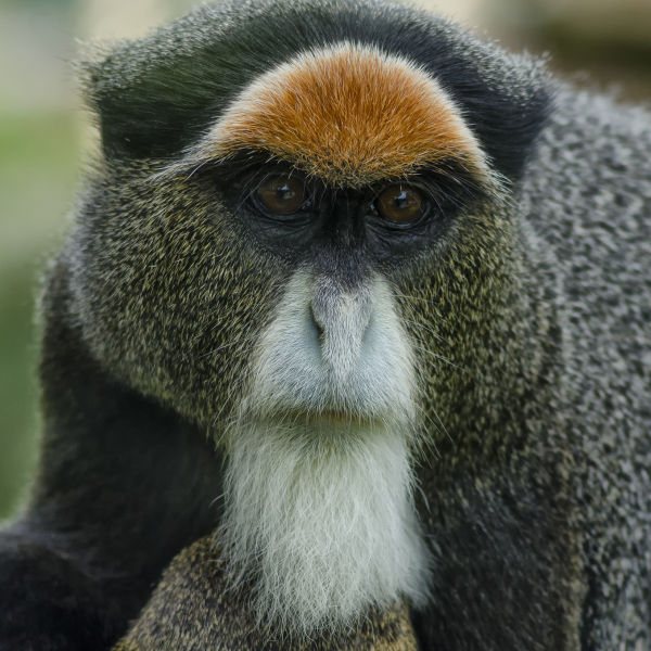 Female De Brazza Monkey