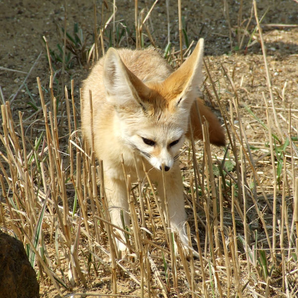 Fennec Fox @ Africa Alive, Lowestoft