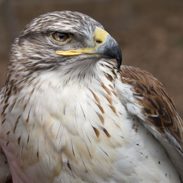Ferruginous hawk  Eagle Pines Falconry - Wild Birds Unlimited