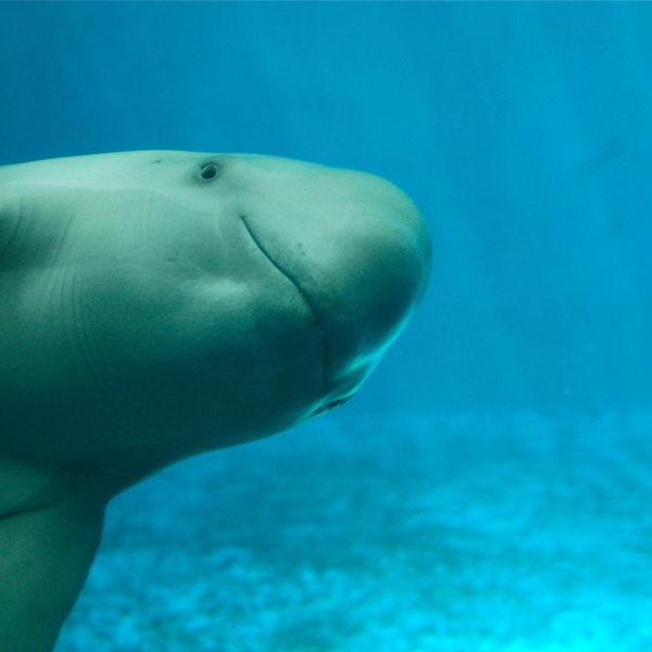 Finless Porpoise - Facts, Diet, Habitat & Pictures on ...