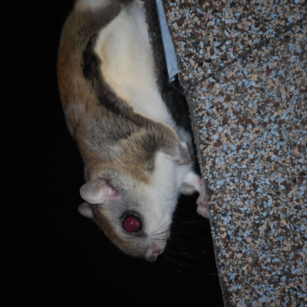 Flying Squirrel on Roof