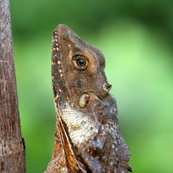 Frill-necked Lizard, or Frilled Lizard also known as the Frilled Dragon, (Chlamydosaurus kingii)