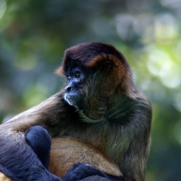Geoffroy's Spider Monkey photo