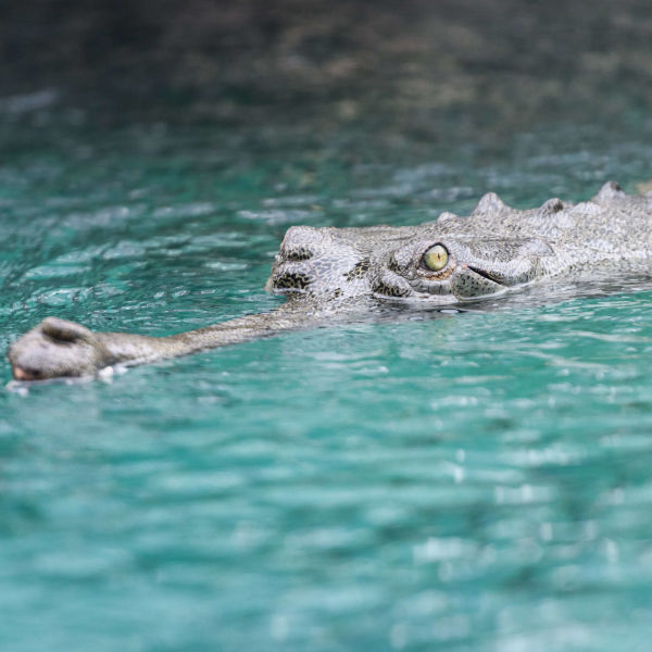 Gharial Swimming in Blue Water