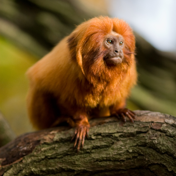 Golden Lion Tamarin - Facts, Diet, Habitat & Pictures on ...