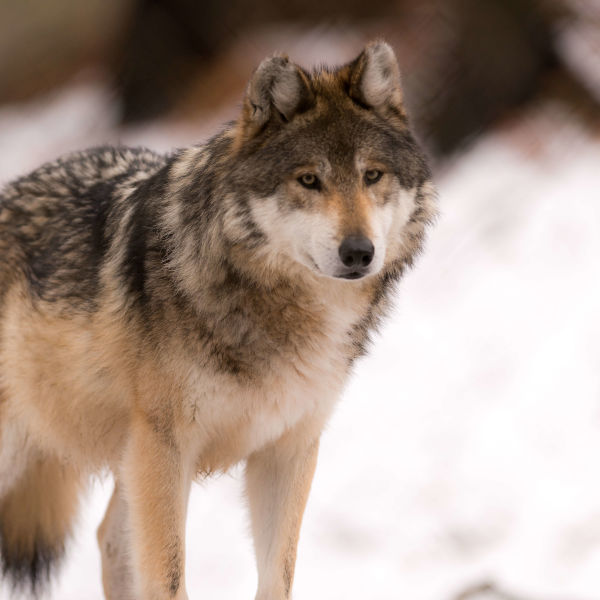 Gray Wolf Standing in the Snow