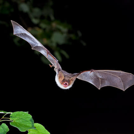 Greater Mouse-Eared Bat photo