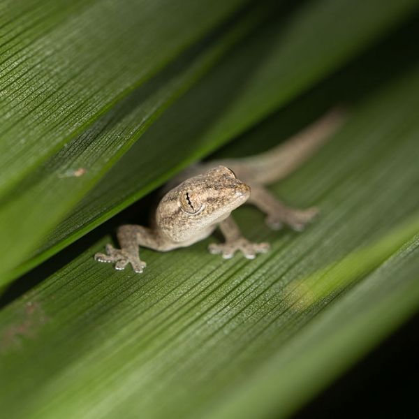 Common House Gecko photo