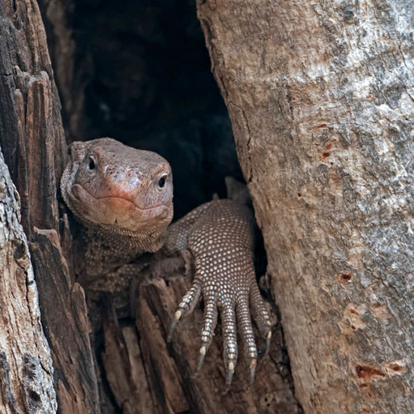 Indian or Bengal Monitor (Varanus bengalensis)