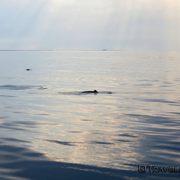Irrawaddy Dolphins, Kuching Wetlands National Park