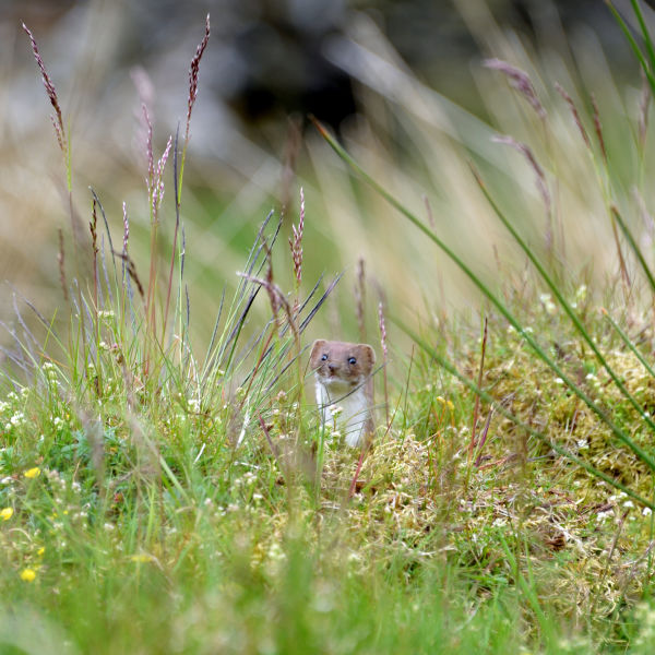 It's That Stoat Again