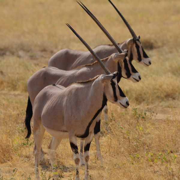East African Oryx photo