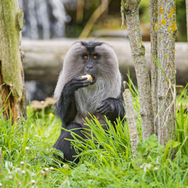 Lion-tailed macaque eating a fruit II