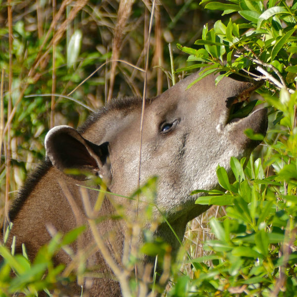 Lowland Tapir (Tapirus terrestris) male browsing leaves ...