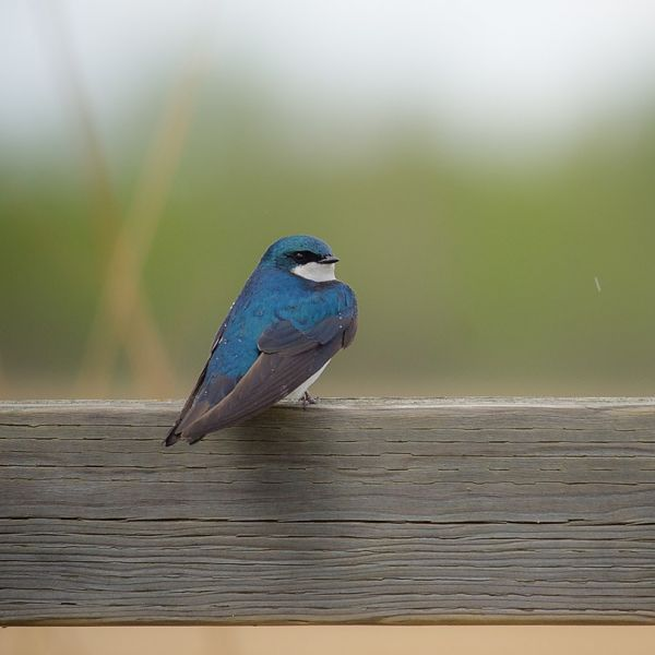 Tree Swallow photo