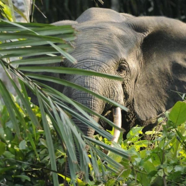 African Forest Elephant photo