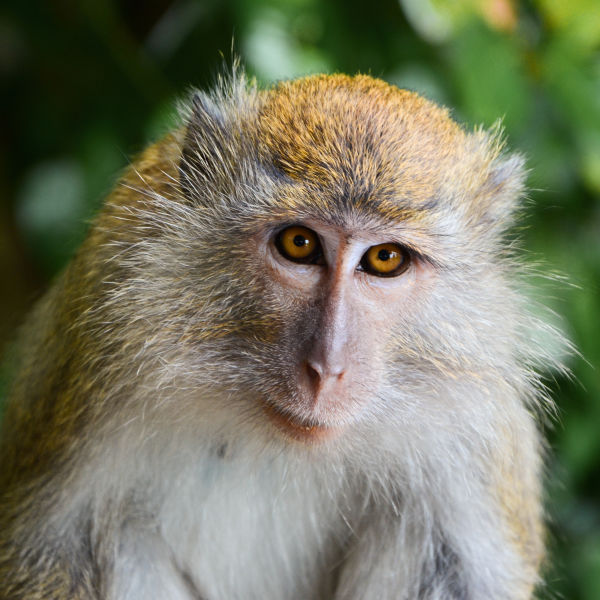 philippine long-tailed macaque diet