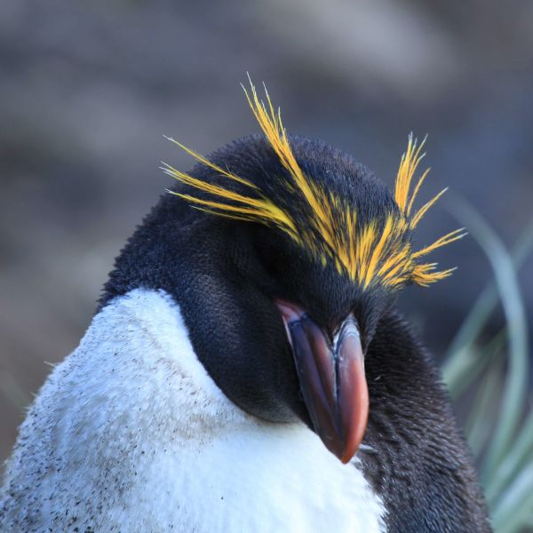 Macaroni Penguin at Cooper Bay, South Georgia