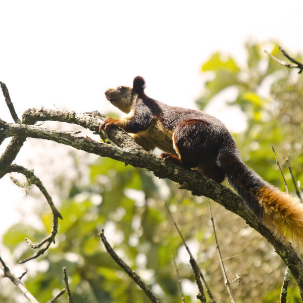 Malabar giant squirrel, (Ratufa indica)