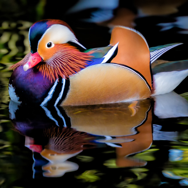 http://animalia.bio/uploads/animals/photos/full/1x1/mandarin-duck-3.jpg