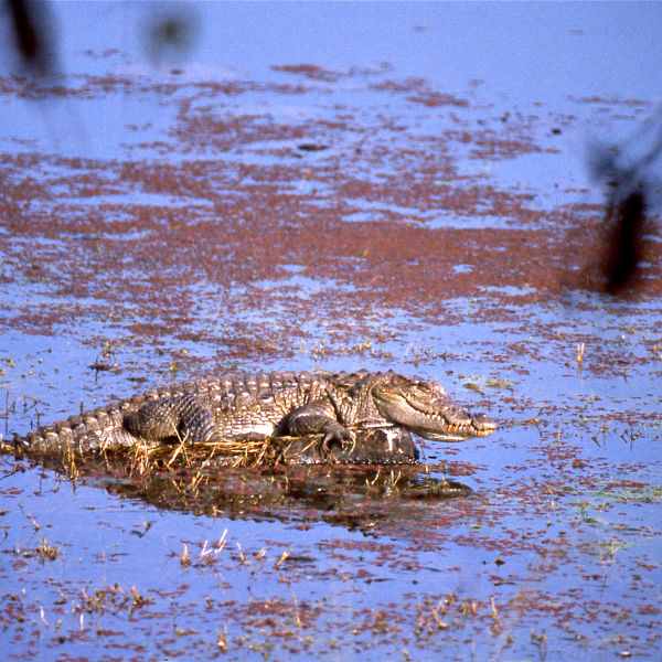 Marsh Crocodile (Crocodylus palustris)