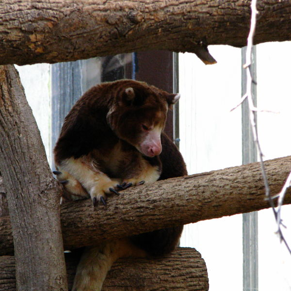 Matschies Tree Kangaroo