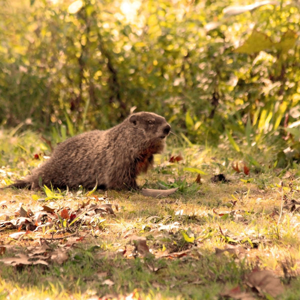 """Mill Creek MetroPark,  Woodchuck at The Wetlands Picnic Area. --""""Now, let me see. How much wood, would..."""""""