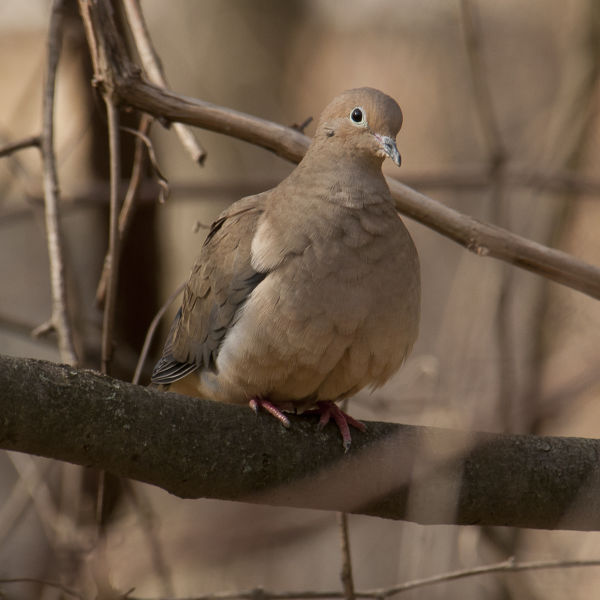 Mourning Dove 7381