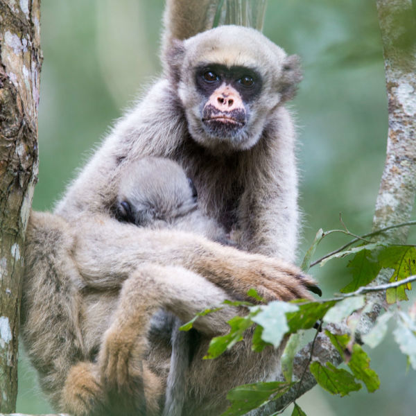 what does northern muriqui eat for its diet