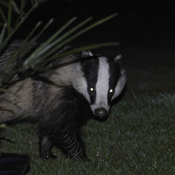 European Badger photo