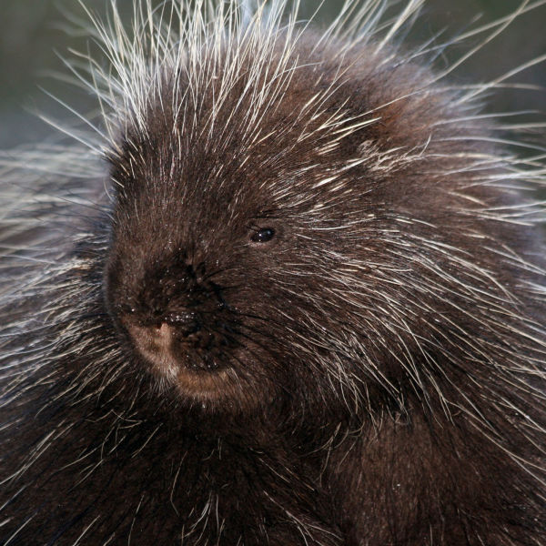 North American Porcupine at Southwick Zoo