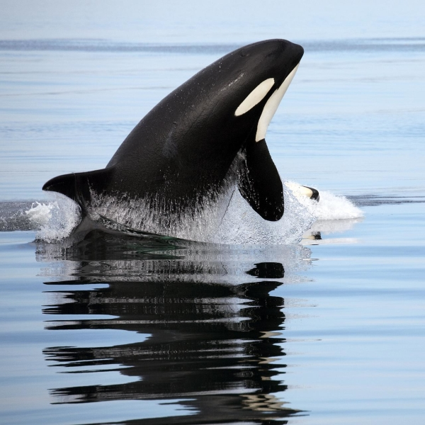 What do Killer Whales Eat?