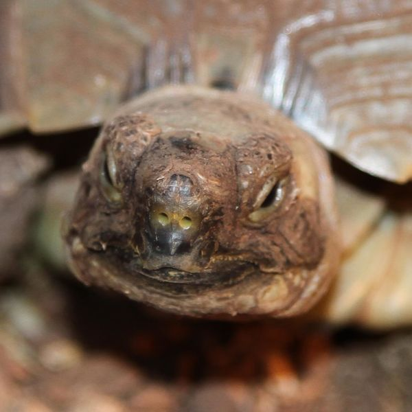 Pokey the Greek Tortoise (Testudo graeca)