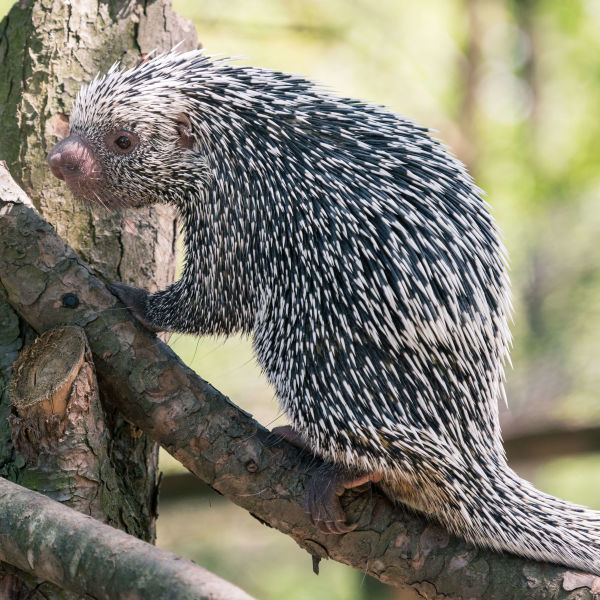 Prehensile Tail Porcupine Climbing a Branch