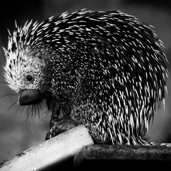 Prehesile-Tailed Porcupine