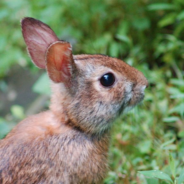 Appalachian Cottontail photo