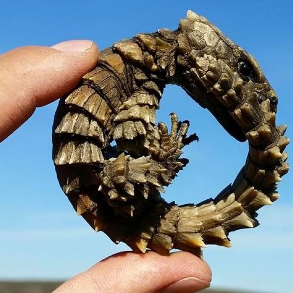 Armadillo Girdled Lizard photo