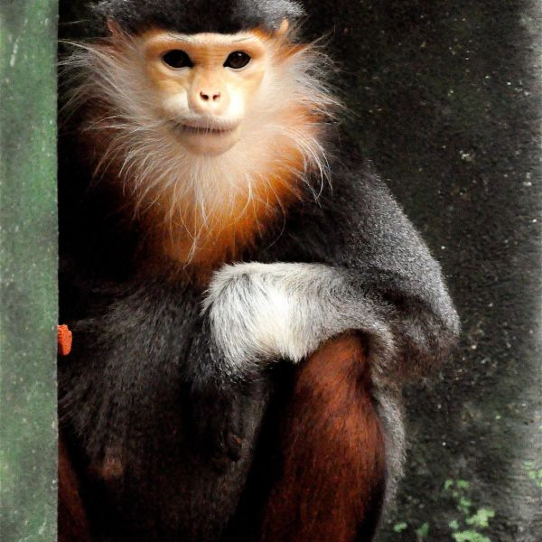 Red-shanked douc langur