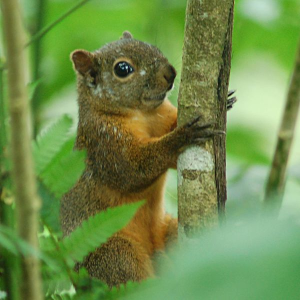 Red-tailed Squirrel (Sciurus granatensis) 2015-06-05 (8)