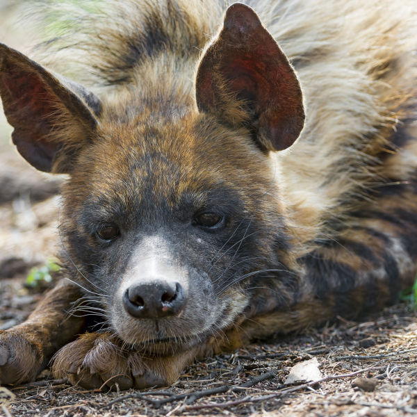 Resting striped hyena