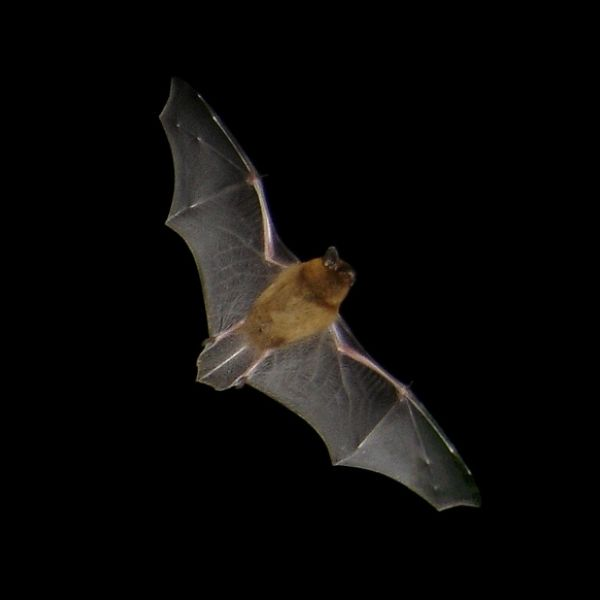 Common Pipistrelle photo
