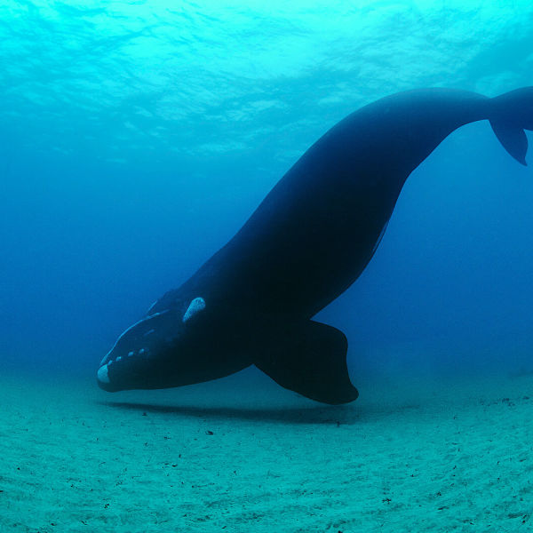 Right whales 1