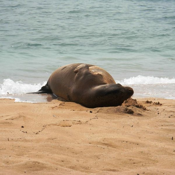 Sea Lion - Marriott Waiohai Beach Club, Poipu Beach, South Shore, Kauai