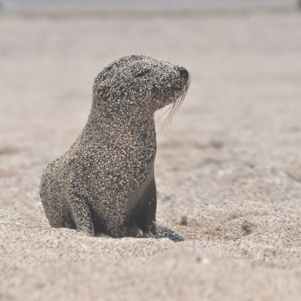 *Set with cute little baby in different situations. Galápagos sea lion/Lobo Marino de Galapagos (Zalophus wollebaeki)