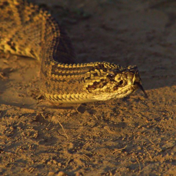 South American rattlesnake | Cascabel (Crotalus durissus)