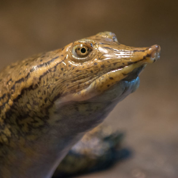 spiny softshell turtle 5 - Rocky River Nature Center
